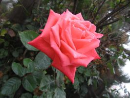Rose 01 by tooterfish-popkin