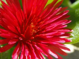 Red Explosion by floramelitensis