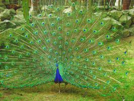 Pavo Real by xXx-FLOR-xXx