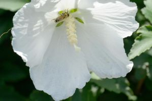 In the Hibiscus, Bee Covered In Pollen by Miss-Tbones