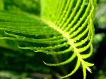 Cycas Leaf by amit0810