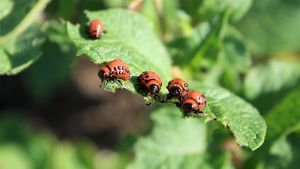 Colorado Potato Beetle Larvae by jm2c