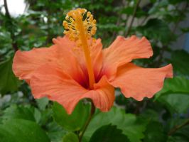 hibiscus by mimose-stock