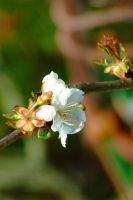 Spring blossom close up by alainsr