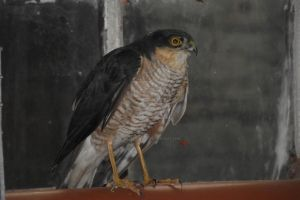 Sparrow Hawk in the barn by BlizzardFace