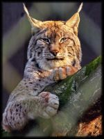 lynx eyed by asomy