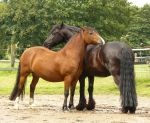 friends - friesian and bay welsh 01 by Nexu4