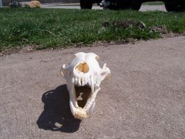 Coyote Skull Front by TheMidasTouch