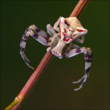 crab spider by nakitez