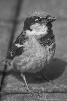 Sparrow by ShadaniTheManul
