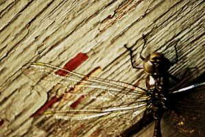 Dragonfly by thorneater