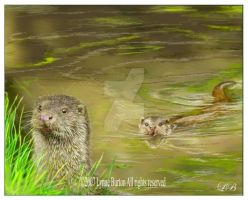 Otter Study - Painting by Lynne-Abley-Burton