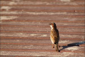 House Sparrows by kimpy23