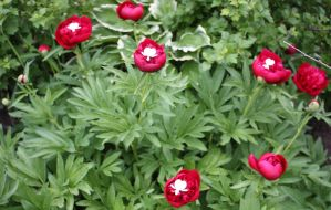 Bleeding Heart Peonies by KeswickPinhead