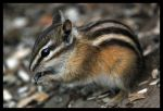 Chipmunk Feast by Gyroid