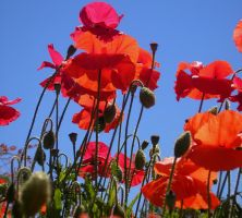happy poppies by bwall49