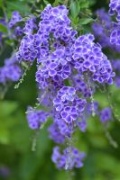 Purple Duranta by MayEbony