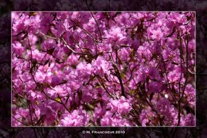 Blossoming Rhododendrons by sicmentale