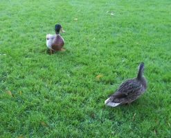 Two Ducks on Green Grass by Dygyt-Alice