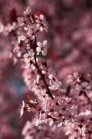 Cherry blossom 2 by Jay-Co