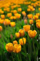 Tulips of the Valley by jasonwilde
