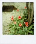 tulips in april by PinkyMcCoversong