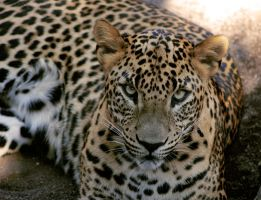 Panthera pardus II by DSPHolthaus