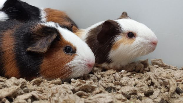 Guinea Pigs by Shadow-Hunter-Is-In