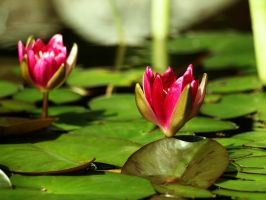 Red Water Lilies by Xercatos