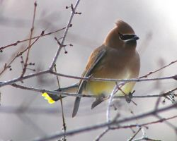Cedar Waxwing 5 by natureguy