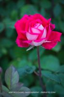 Single Red n Pink Rose by JYB-Photography