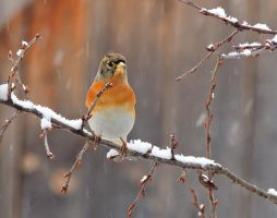 Brambling by hpangel