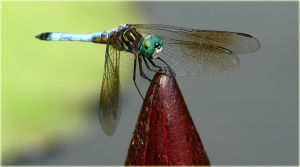 Dragon Fly by magikfoto