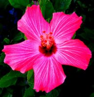 Hibiscus pink by vfrrich