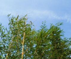 Bamboo blue sky by Timkudo