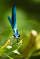 Banded Demoiselle Portrait by JoeGP