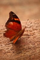 Orange butterfly 2 by winsight