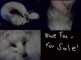 Blue Fox Stole for Sale!! Make an offer by vulpers