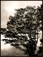 Shadows Of The Tree by Tomatogrower