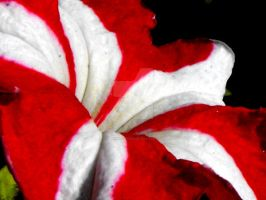 Red Striped Petunia by floramelitensis