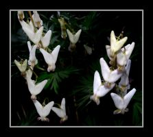 Dutchman's Breeches by Althytrion