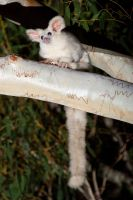 Pale morph greater glider by JeremyRingma