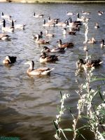 lots of ducks on the pound by IamNasher