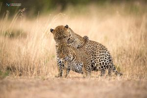 Mating Leopards by vinayan
