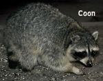 Coon by IamCo