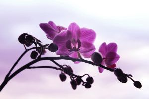 Orchid by EnniArt