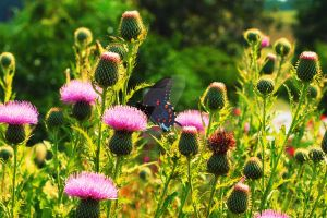 Pipevine Swallowtail in Field by HeatherYarnell