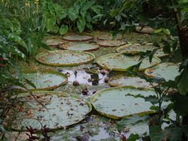 Water lillies by Mark-Allison