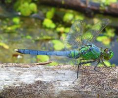 Green Darner by LovingLivingLife