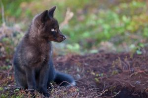 Baby Black Fox by Witch-Dr-Tim